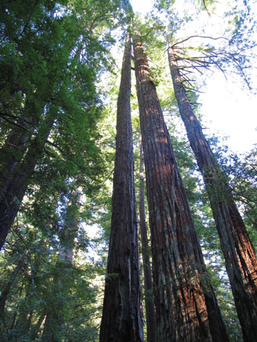 Redwood Tree Blessings