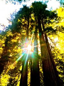 Redwoods Speak to Me