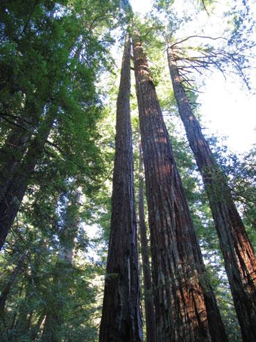 Redwood Tree Blessings